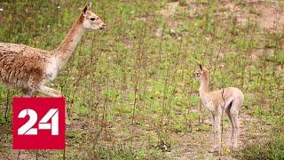 Московский зоопарк показал новорожденного детеныша краснокнижной викуньи - Россия 24