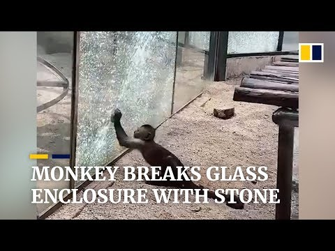 VIDEO: Monkey Sharpens Rock, Shatters Glass Enclosure At Zoo