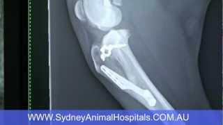 Sydney Animal Hospitals: Dog Cruciate Ligament Surgery: Brooklyn Pre-op X-ray