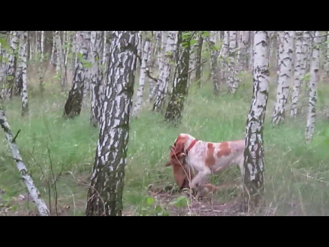 Bracco italiano - fox tracking and retrieve
