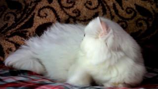 персидская шиншилла, кот. Промаран Николос.