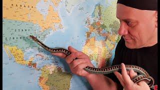 Jeśli nie chcesz karmić węży gryzoniami to... pończoszniki !