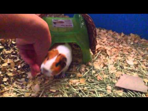 How to get your guinea pig to come to you
