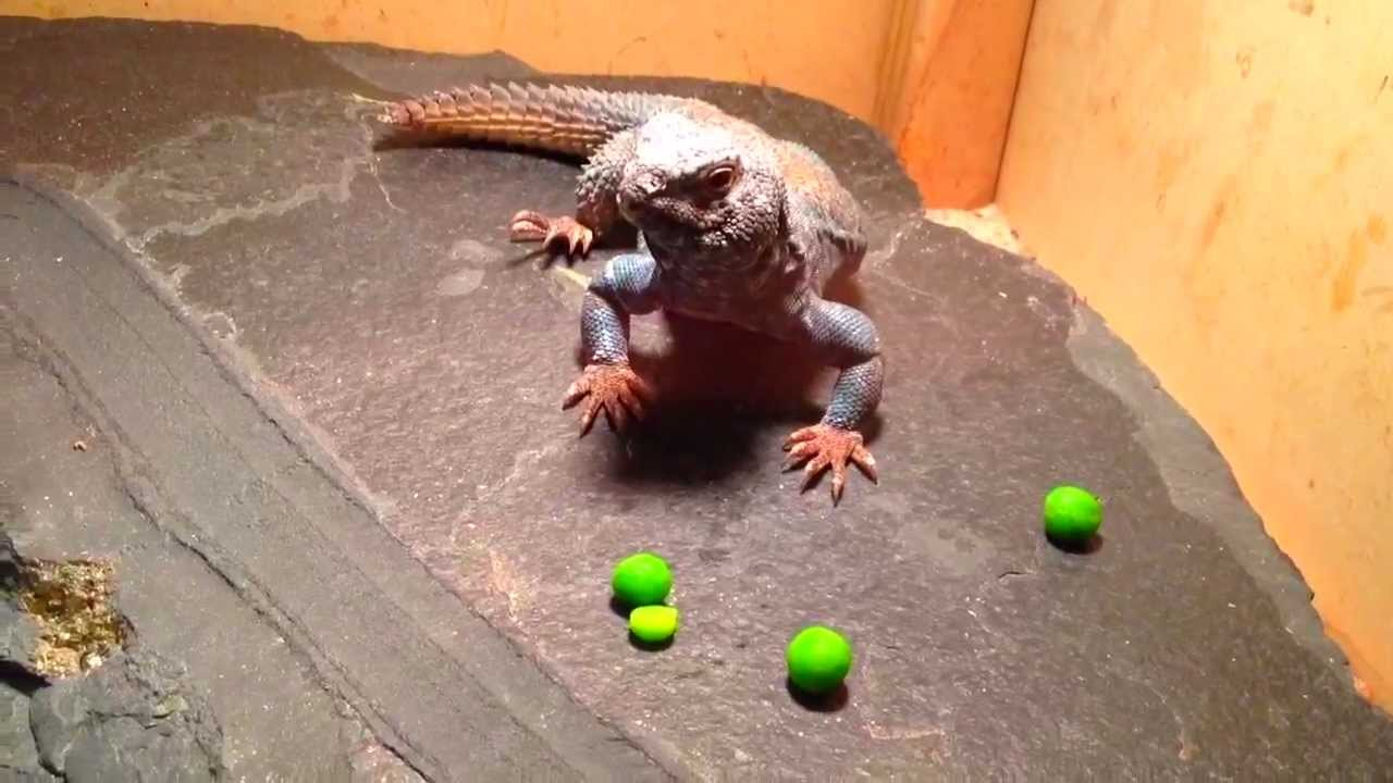 Uromastyx Philbyi eating peas (Arabian Uromastyx) - YouTube