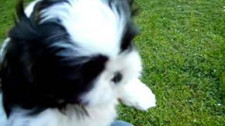 Shih Tzu Puppies For Sale In Lyndonville, Ny