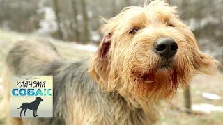 Боснийская гончая. Планета собак 🌏 Моя Планета