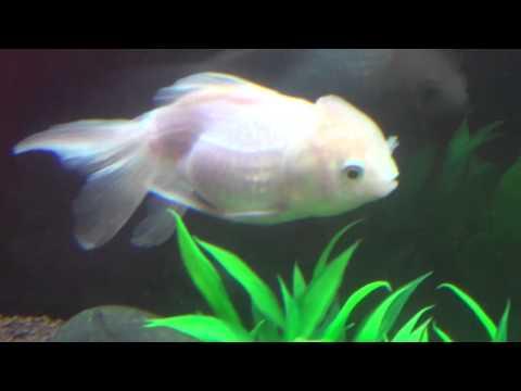 Oranda White Gold Fish in Aquarium