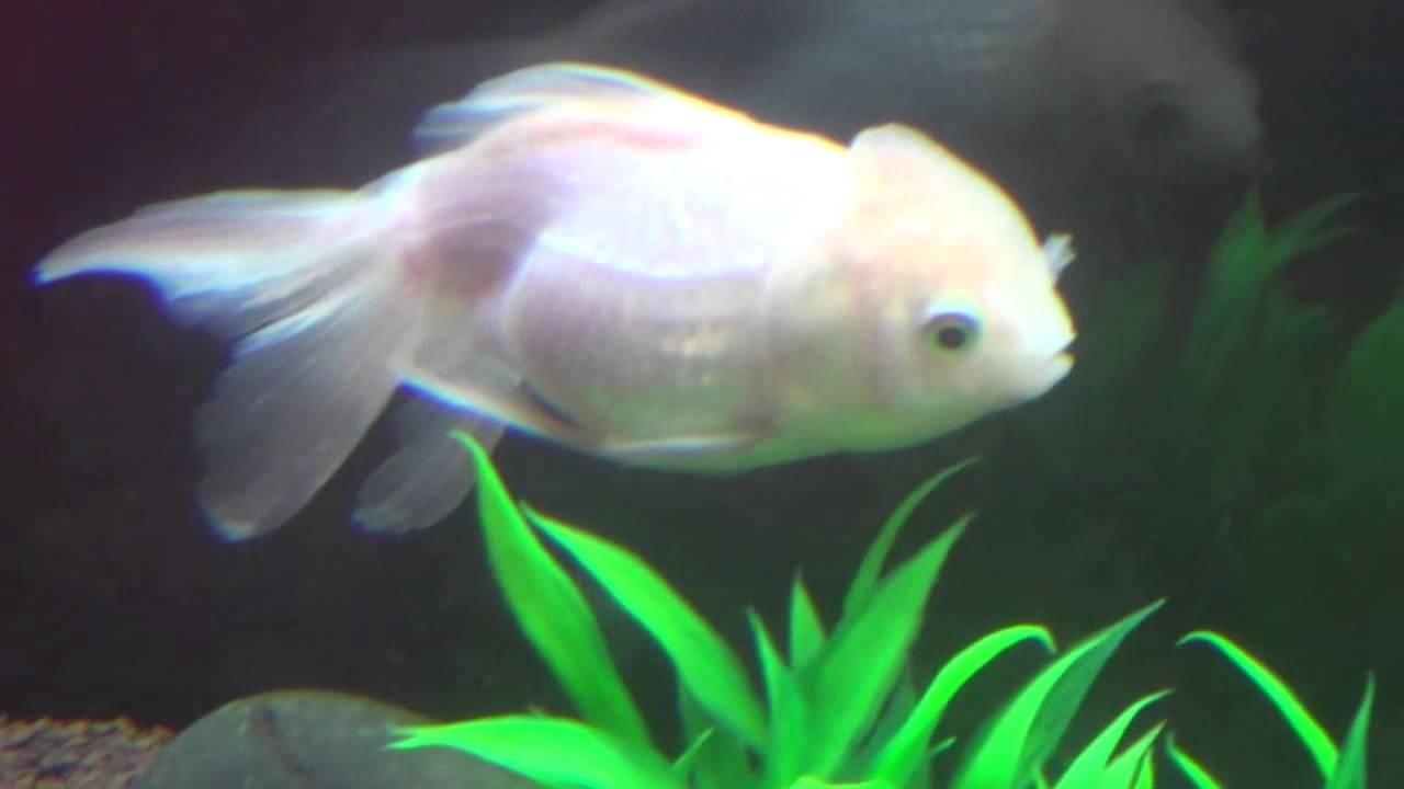 Oranda White Gold Fish in Aquarium - YouTube