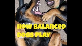 How Balanced Stress Free Dogs Play