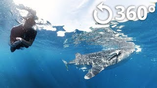 Swimming with the Whale Sharks 360 Video thumbnail
