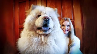 THE CHOW CHOW DOG  Fierce or Friendly? 松狮犬