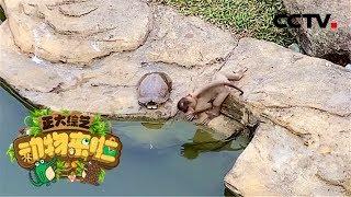 [正大综艺·动物来啦]巴西龟的龟壳是身体骨骼的一部分 可以感受外界危险| CCTV