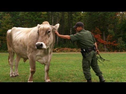 Warden Corrals Runaway Oxen | North Woods Law