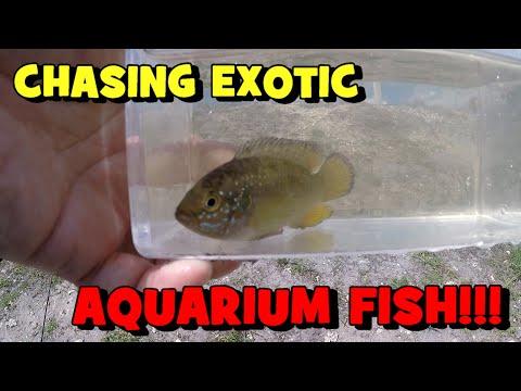 Chasing EXOTIC AQUARIUM FISH In A FLORIDA CANAL!