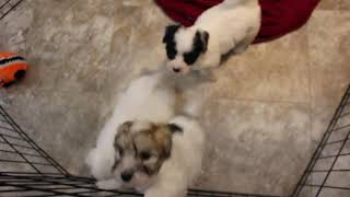 Coton Puppies For Salen- Haven 2/24/21