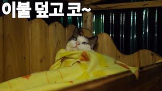 뽀송뽀송한 이불 덮고 자는 산골 고양이들