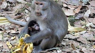Monkey eat banana, The best food for monkey are banana and lotus fruit