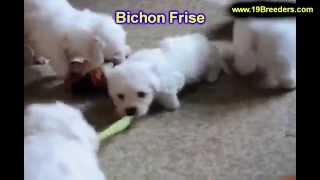 Bichon Frise, Puppies, For, Sale, In, Louisville,county, Kentucky, Ky,  Richmond, Florence, Georgeto