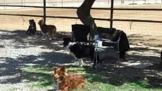 2 Border Collies, 2 Aussies, 2 Corgis & 1 Mini, Mini Dog