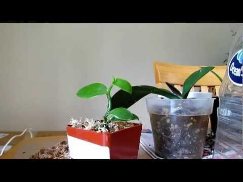 Caring for Vanilla Orchid Plant Planifolia