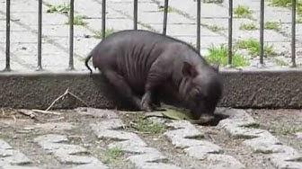 Hängebauchschwein + 7 Junge! - Pot-bellied pig and 7 babies!