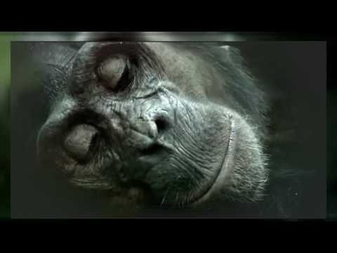 The Chimpanzee (Documentary) | Primate in Captivity | African Ape | Chimpanzees | Animal Film