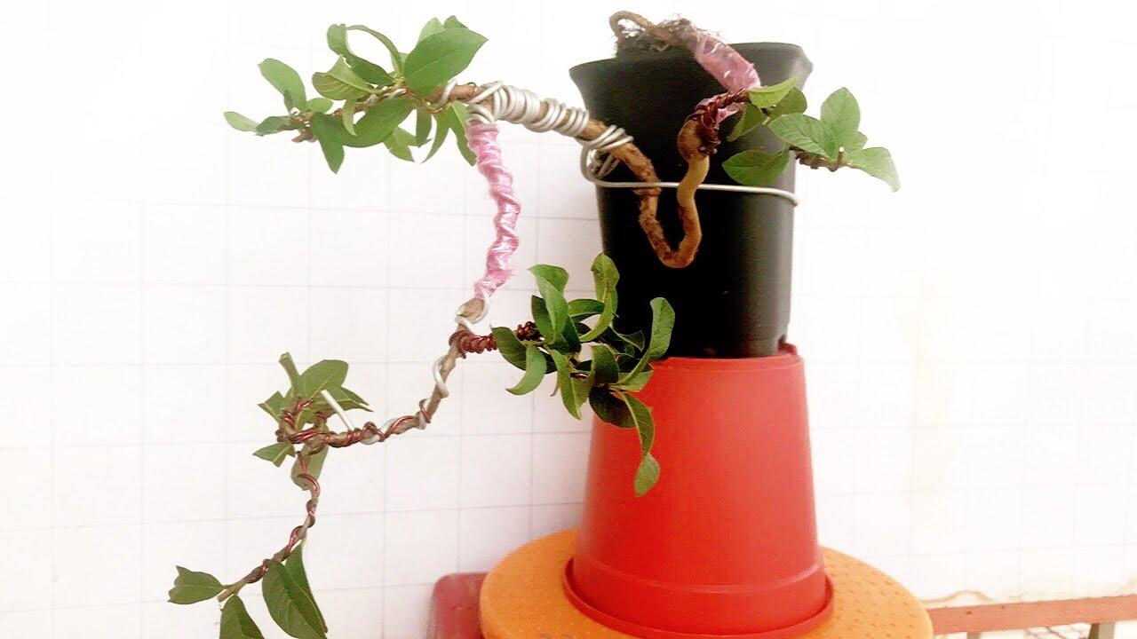 Cây cảnh bonsai – uốn cây ổi mini – dành cho người mới biết chơi