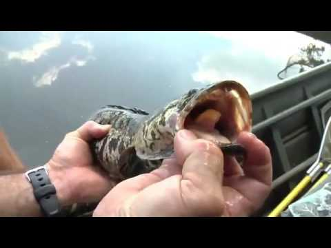 Snakehead fish in Potomac not as invasive as feared