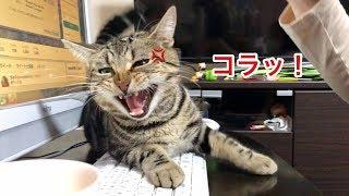 妹のお仕事を邪魔して怒られるも拗ねて逆ギレしてしまった猫w