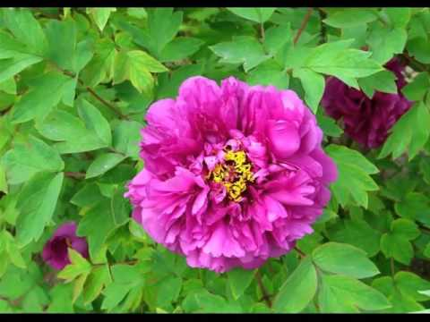 Ideas Of Purple Peony Flower Pics | Purple Peony Flower Romance