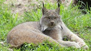 Wildcat Walkabout 2018 01 17