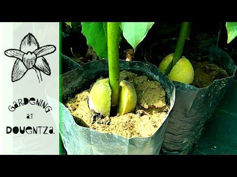 Crete Garden Centre, Greece - featuring avocado propagation