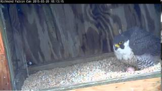 Richmond Peregrine Falcons: The first egg has been laid!