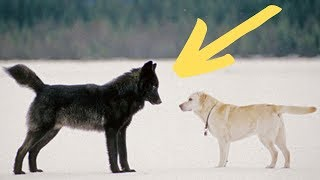 Man Freezes As A Wolf Starts Stalking His Dog