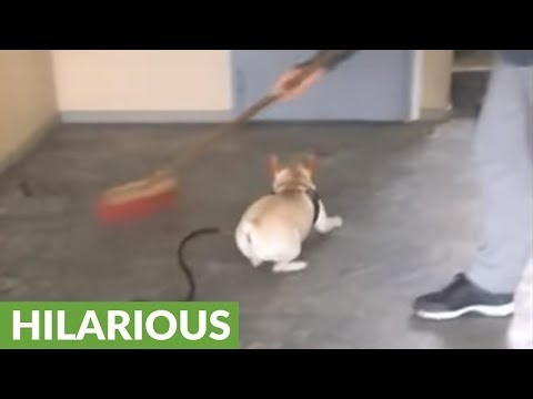 High-energy Frenchie can't stop chasing broom