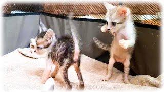 新居ではしゃぎすぎて別の生き物になった赤ちゃん子猫たち
