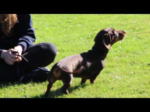 All you need to know about Dachshunds