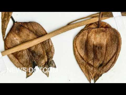 south american Fossil fruit from 52 million years ago revealed from YouTube · Duration:  4 minutes 6 seconds