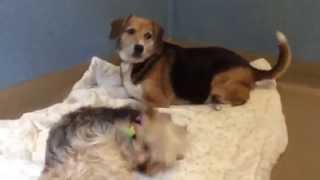 Daphany (beagle Mix) #234074 & Noodles (yorkie) #234316