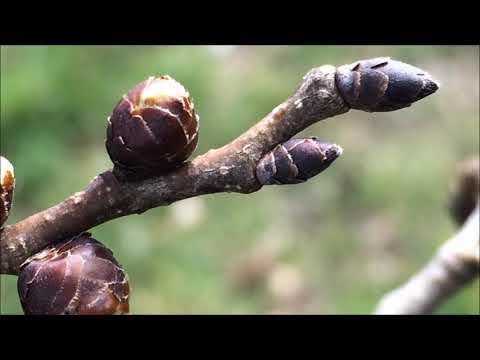 English elm (Ulmus procera) - buds close up - March 2018