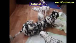 Dalmation, Puppies , For, Sale, In Staten Island, New York, Ny, Brooklyn, County, Borough