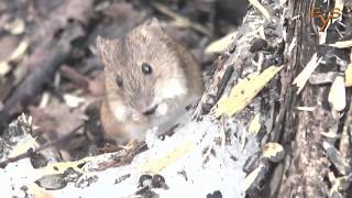 Полевая мышь и рыжая полёвка в весеннем лесу