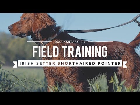 FIELD TRAINING: GERMAN SHORTHAIRED POINTER AND IRISH SETTER