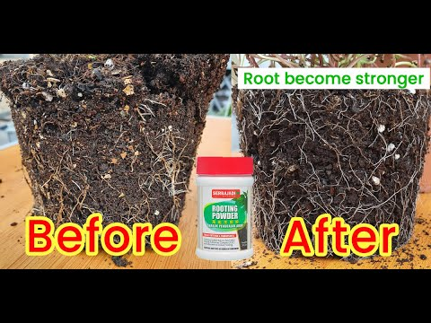 How to use Serbajadi rooting powder / rooting hormones? How to grow plant from cuttings fast & easy