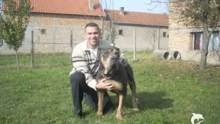 srpski odbrambeni pas i srpski mastif/različite rase