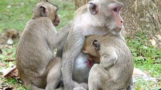 So Pity Monkey janet Hungry Try Feeding Jane | Mother Weaning No Milk | Sounds Monkey