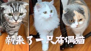 我们家第九名成员布布,不光会站起来拜拜,还是个无敌话痨,简直就是猫...