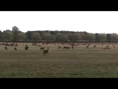 herd of deer. Windsor park.