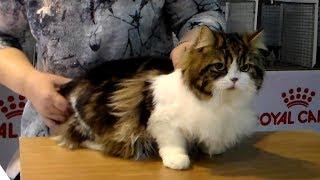 Супер Классный Шотландский Длинношерстный Котик - это Просто Милое ЧУДО | ПОРОДЫ КОШЕК