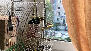 Птицы, мои птицы. Попугаи, неразлучники